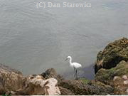 White Egret at Blind Pass